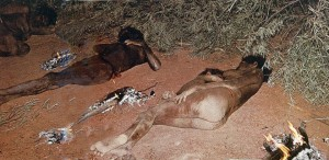 Australian aborigines sleeping naked in near freezing temperatures