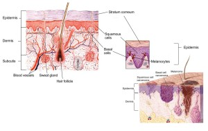 Cross section of the epidermis showing the three types of can cells and their location.