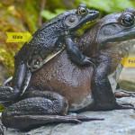 American Bullfrog Sexual Dimorphism