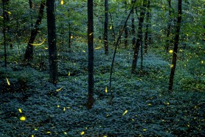 Figure 2: A time-lapse composite image of fireflies taken in Grand Ledge, Michigan, in 2013. Photograph Vincent Brady, National Geographic Your Shot  http://voices.nationalgeographic.com/2014/06/13/fireflies-lightning-bugs-summer-facts-weird-animals-science/