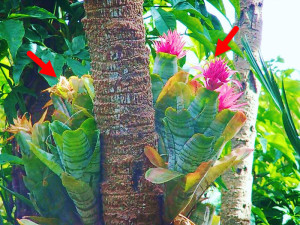 Bromeliads (indicated by the red arrows) growing on a tree in a humid, tropical forest.