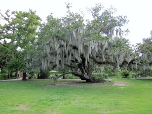 Southern live oak festooned with Spanish moss.   Note the mushroom shape for the tree canopy.